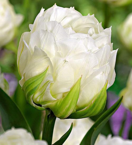Tulip 'Ice Wonder'