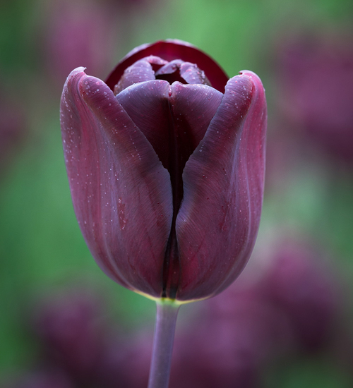 Tulip 'Continental'