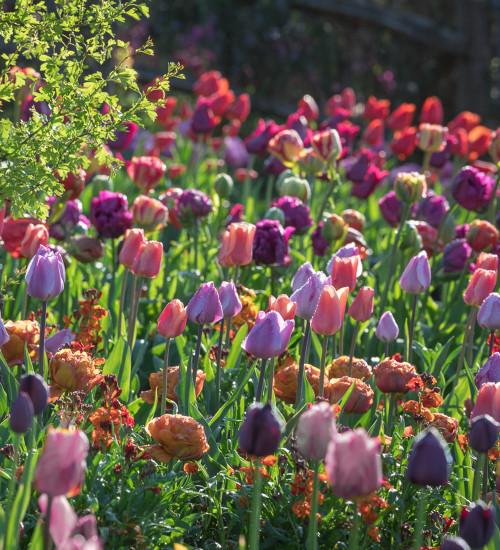 Bumper Border Tulip Collection