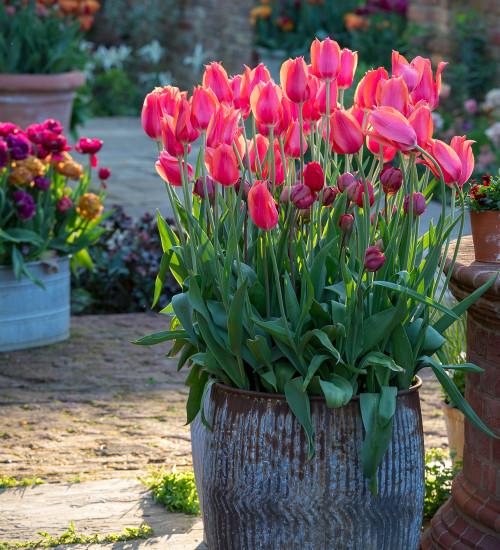 Tulip 'Temple of Beauty'