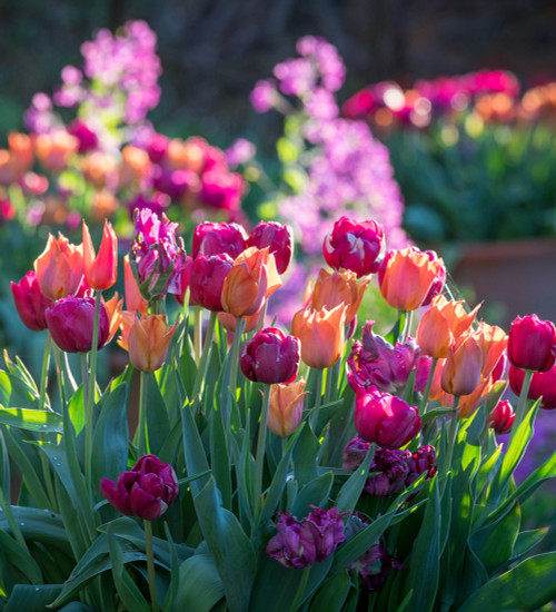 Boiled Sweet Tulip Collection