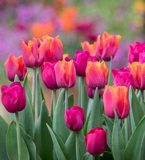 Tulips 'Attila Graffiti' and 'Louvre Orange' Collection