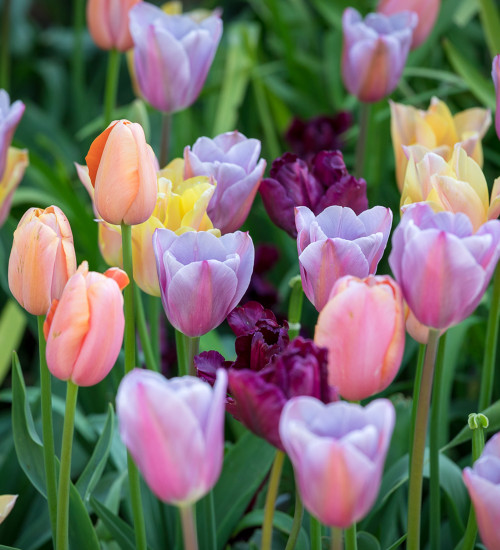 Fruit Salad Tulip Collection