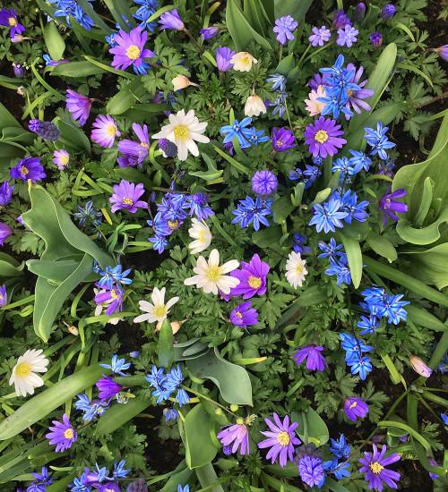 Delft Blue Perennial Bulb Collection