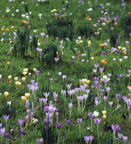 The Carien Crocus Collection