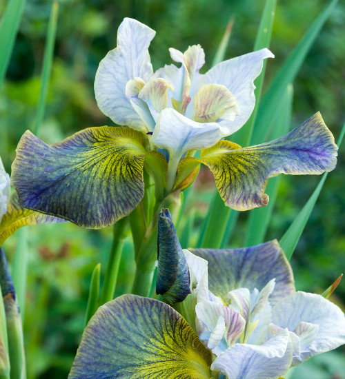 Iris sibirica 'Unbuttoned Zippers' (Peacock Butterfly series)