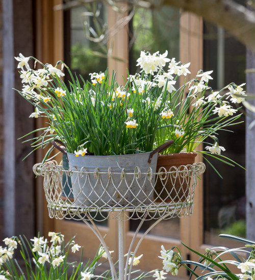 The Delicate Narcissus Collection