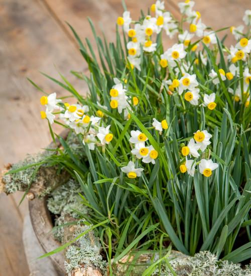Narcissus 'Canaliculatus'