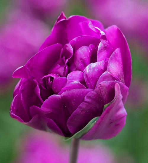 Tulip 'Blue Wow'