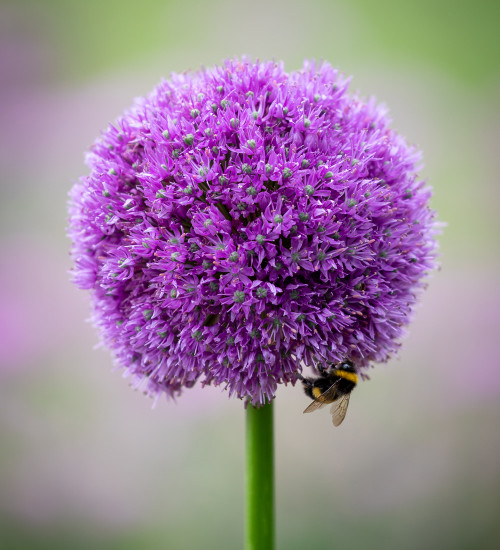 Allium macleanii 'His Excellency'