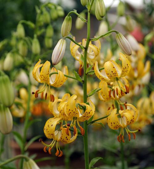 Lilium x dalhansonii 'Guinea Gold' (Martagon)