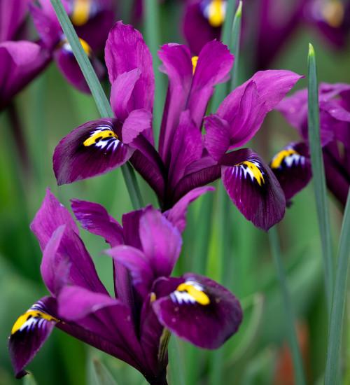 Iris 'Purple Hill' (Reticulata)
