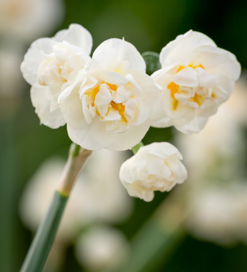 Narcissus 'Erlicheer' for Forcing