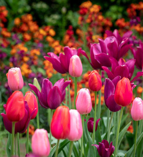 French Tulip Mix