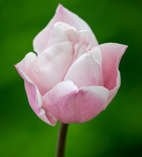 Tulip 'Lasergame'