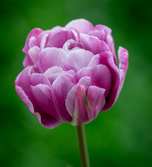 Tulip 'Purple Jacket'
