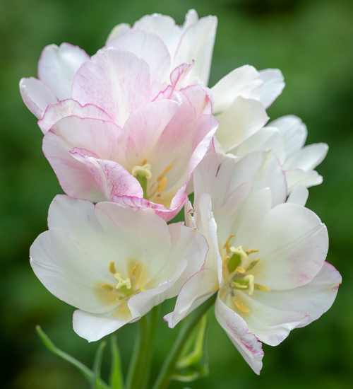 Tulip 'Candy Club'
