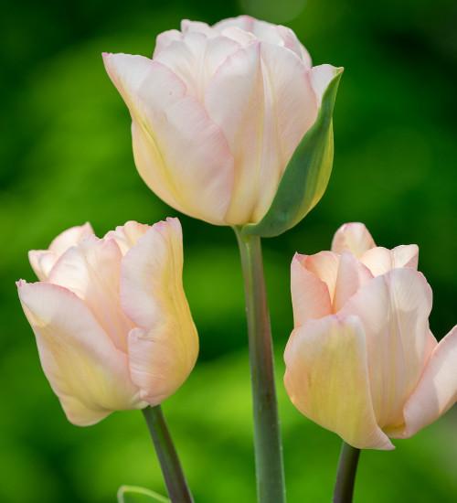 Tulip 'Rejoice'