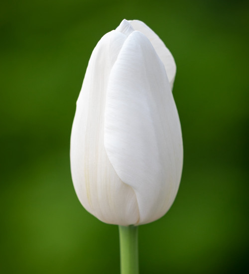 Tulip 'Clearwater'