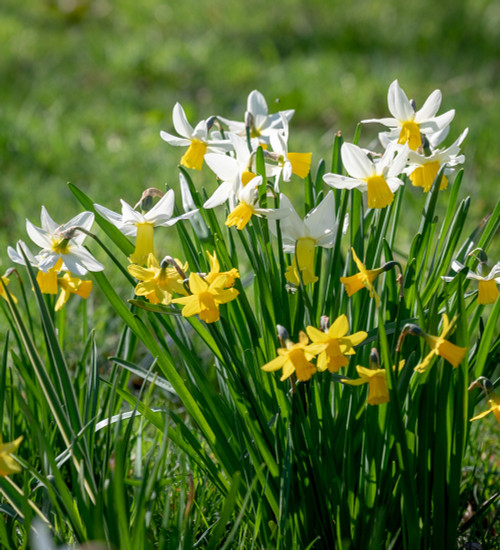 Narcissus for Grass Collection