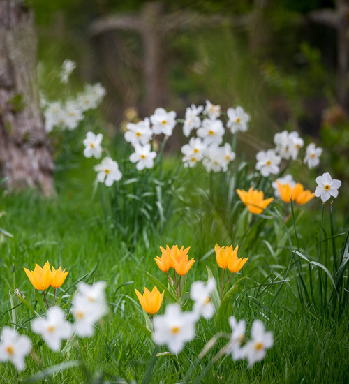 Tulip and Narcissus Naturalising Collection