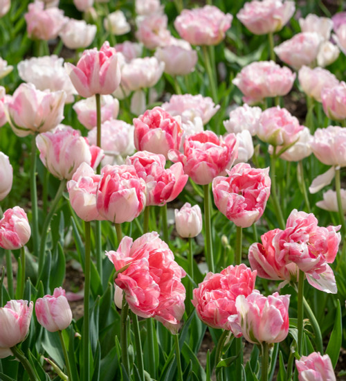 The Angelique and Finola Tulip Collection