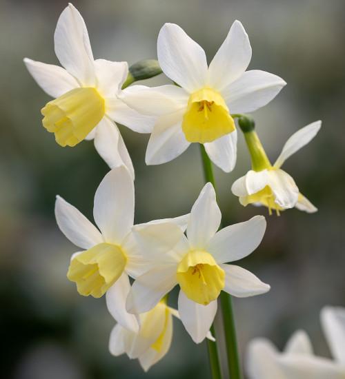Narcissus 'Sailboat'