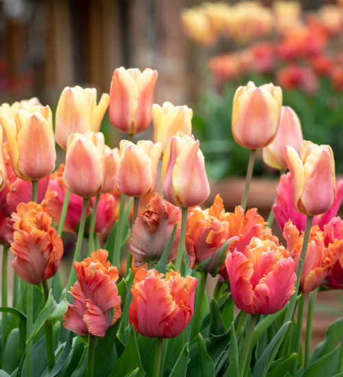 The Amazing Apricot Tulip Collection