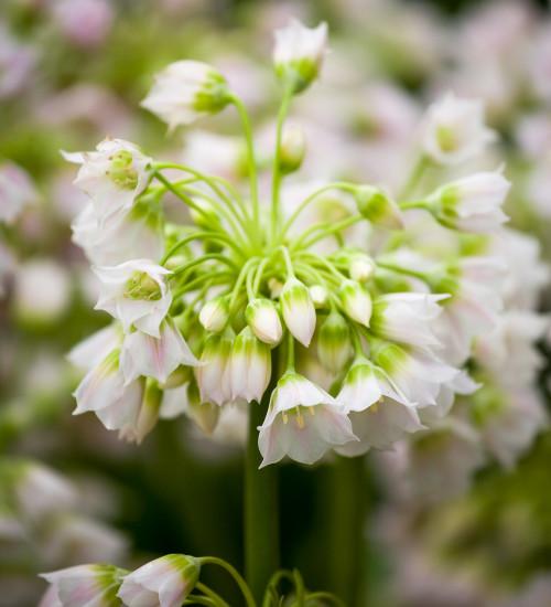 Allium tripedale (syn. Nectaroscordum)