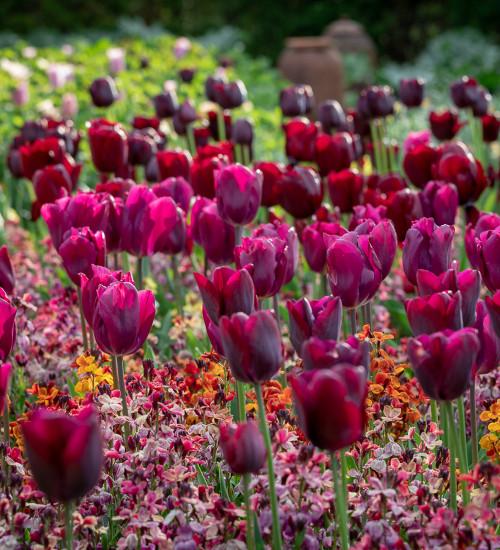 Cardinal Tulip Mix