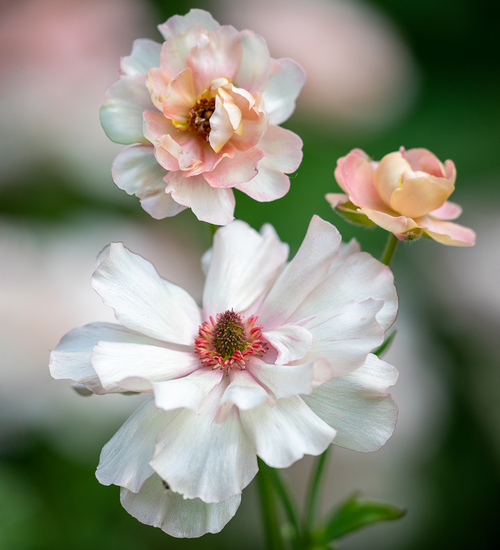 Ranunculus Butterfly 'Ariadne'