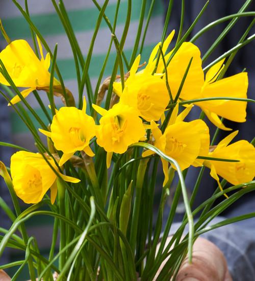 Narcissus bulbocodium 'Golden Bells'
