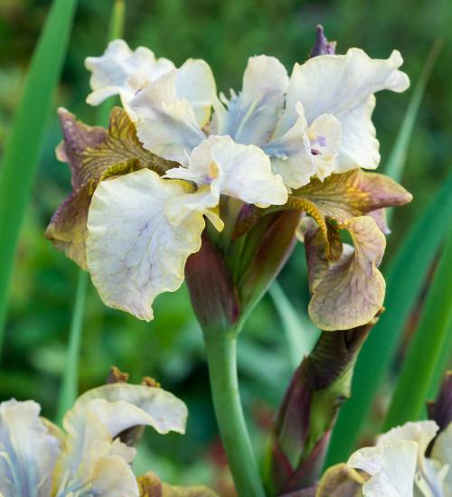 Iris sibirica 'Jerry Murphy' (Peacock Butterfly Series)