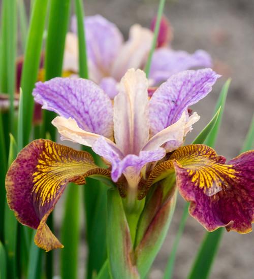 Iris sibirica 'Paprikash' (Peacock Butterfly series)