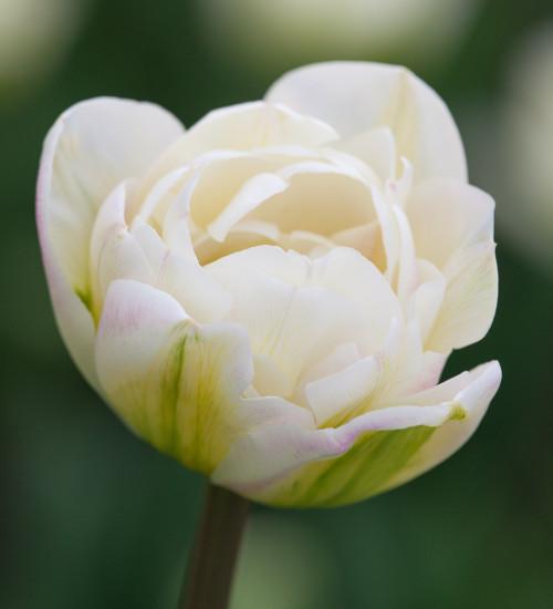 Tulip 'White Mountain'