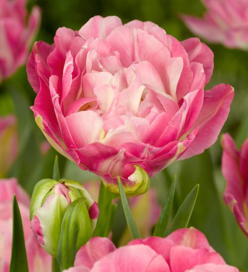 Tulip 'Double Sugar'