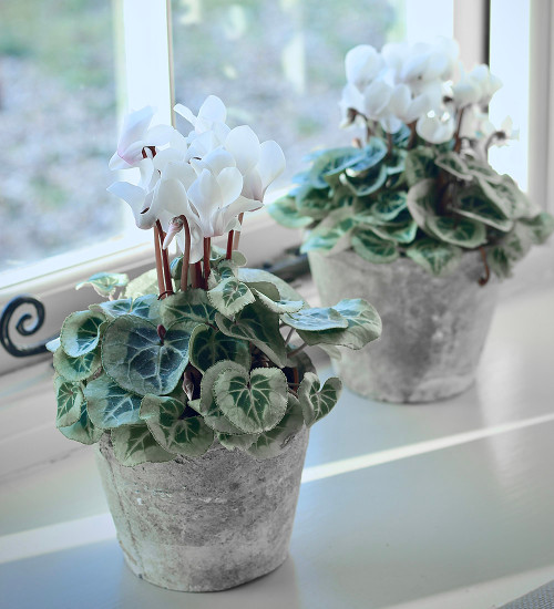 Potted Cyclamen in Antiqued Whitestone Pot
