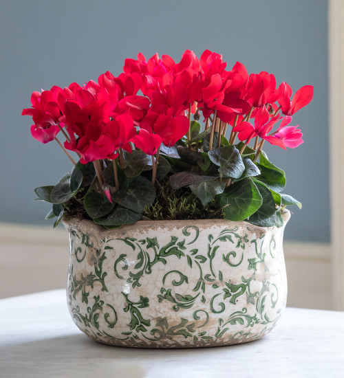 Potted Cyclamen in Wavy Edged Green Ceramic Bowl