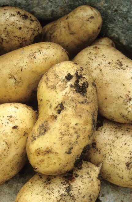 土豆的国际肾脏