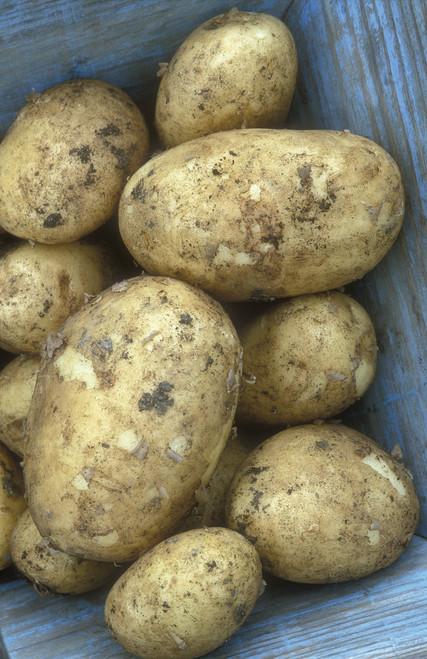 """马铃薯""""温斯顿。"""""""