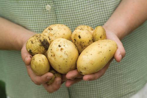土豆的夏洛特