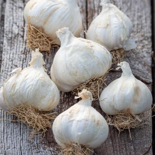 Elephant Garlic