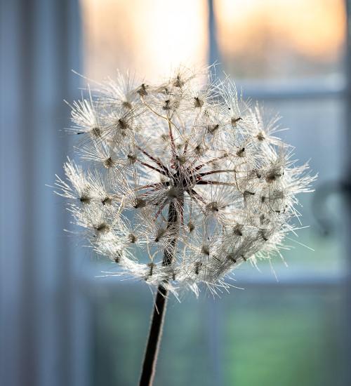 Everlasting White Dandelion Stem