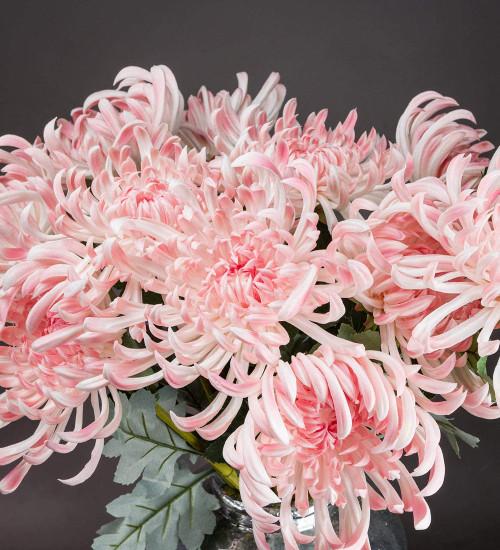 Everlasting Spider Chrysanthemum