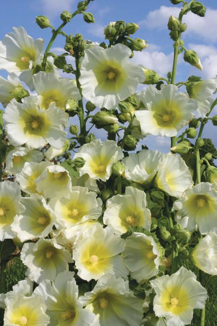 Alcea rosea 'Halo White'