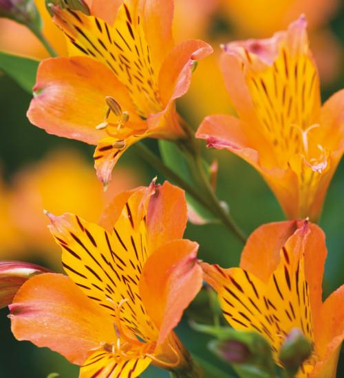 Alstroemeria 'Orange Supreme'
