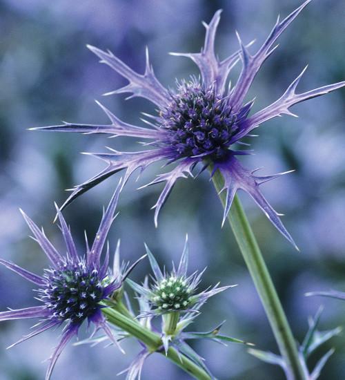 Eryngium bourgatii 'Picos Blue'