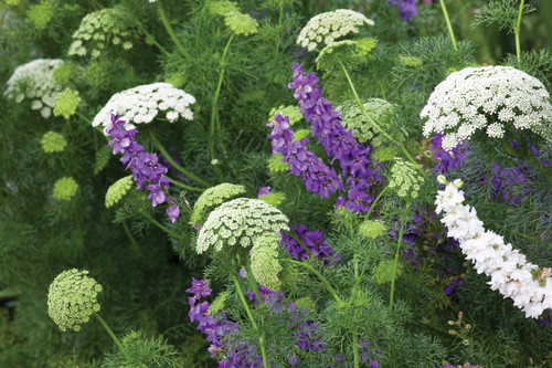 Ammi and Larkspur Collection