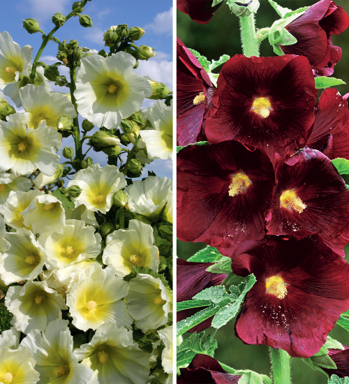 Hollyhock Collection