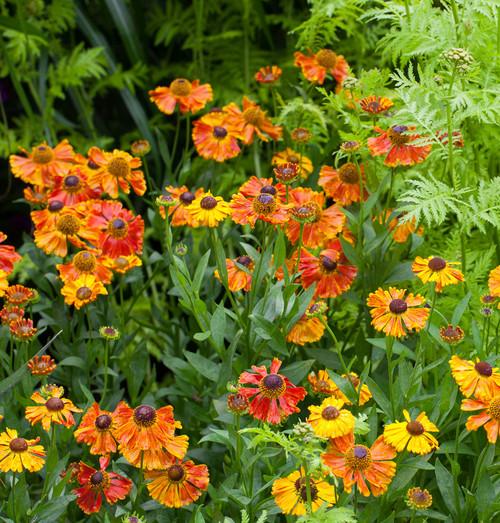 Helenium 'Sahin's Early Flowerer'